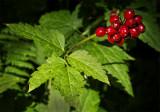 Santa Barbara Red Berry