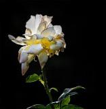 White Rose of Summer