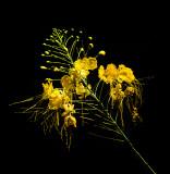 Yellow Kona Delight