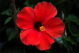 Royal Red Hibiscus