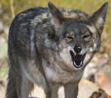 Neighborhood Coyote