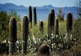 Suguaro Garden