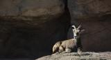 Lady Desert Big Horn Sheep