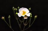 Welcoming Rose