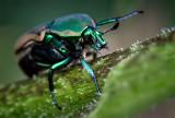 Sunflower Beetle
