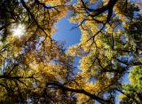 Cottonwood Canopy