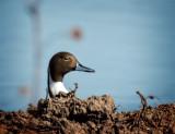 Peek a Duck