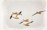 Flight of the Snow Goose