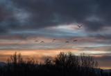 Morning Flight of Sandhill Cranes