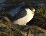 Black Crowned Night Heron Adult