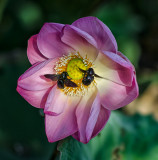 Atracting Bumble Bees