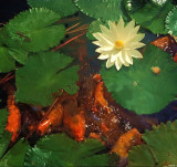 Koi & Water Lily