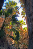 Palms in  Coachella Valley Preserve