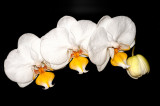 Orchid 086