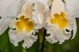 Orchids 020