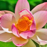 Lotus 667