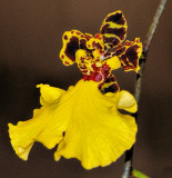 Orchid 016