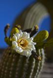 Sonoran Desert Saguaro Blossom