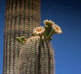 Saguaro Cactus on Sonoran Desert
