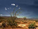 Ocatillo, Anza-Borrego Desert Floor