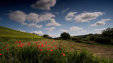 Tuscany's Famed Red Poppies
