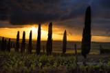 Vineyard & Cypresses