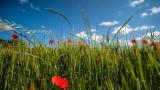Wheat & Poppies