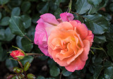 An Exceptional Duo-Colored Rose