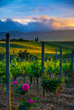 Roses in the Vineyards