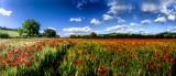 Poppy Panorama