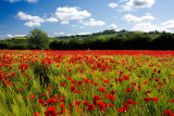 Poppies of May