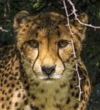 Cheetah Sizing us Up