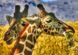 Giraffes Munching