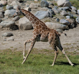 Young Giraffe on the Gallop