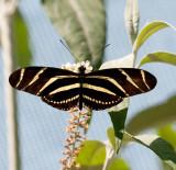Butterfly 276