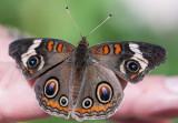 Butterfly 260