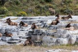Elk, Sunbathing - Mammoth Hot Springs