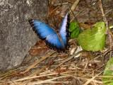 Blue Morpho Butterfly - Xcaret Eco Theme Park