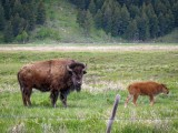 Bison & Calf