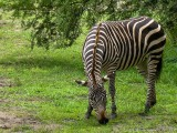 Zebra - Wild Animal Kingdom