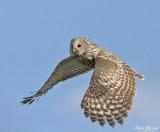 Flyghöns till spettar / Sandgrouses to Woodpeckers