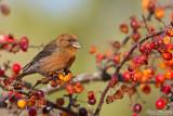 Sparvar, finkar & fältsparvar / Sparrows, Finches & Buntings