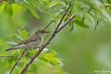 Kamtjatkanordsångare / Kamchatka Leaf Warbler