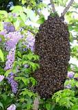 17 swarm in lilac.jpg