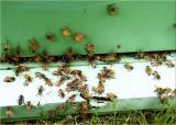 29 pollen bearers.jpg