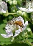 30 bee on himalayan blackberry.jpg