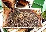 35 honey brood queen.jpg