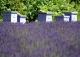 35 hives and lavender