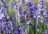 27 honeybee on lavender