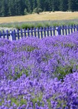 20 purple fence, purple lavender 2